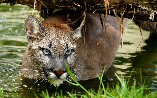 Puma Watching in Chile