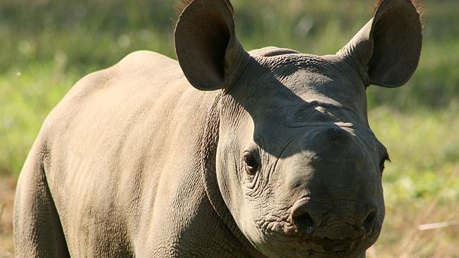 Dallas Safari Clubs black rhino fundraiser prize is to kill one | Money | Banking and Money Investment News | | Herald Sun