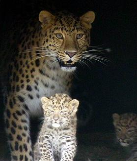 BBC News - Two rare Amur leopards born at Twycross Zoo in Leicestershire