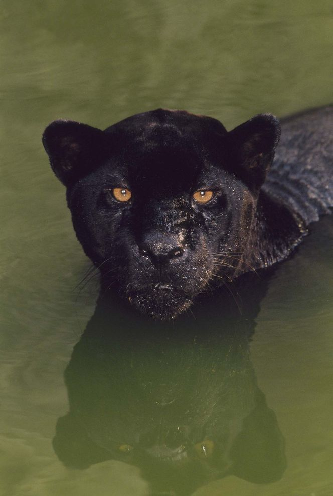 Whats a Black Panther, Really?