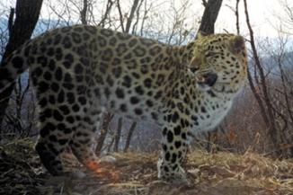 Photos: Amur Leopard Population Hits At Least 65: Photo 4