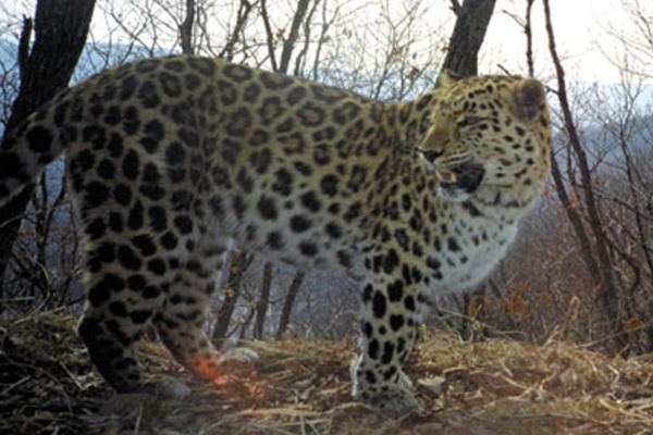 Photos: Amur Leopard Population Hits At Least 65: Photo 4