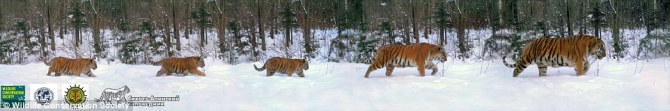 Picture captures rare family portrait of Amur tiger couple with their three cubs | Daily Mail Online