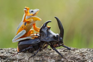 A Frog Riding a Beetle: Is This a Real Wildlife Photo or a Bunch of BS?